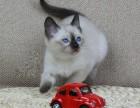 佛山哪里有暹罗猫出售 猫舍出售纯种暹罗猫公母都有保证健康
