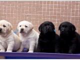 精品拉布拉多犬,保纯保健康,疫苗驱虫已做完可签协议