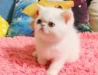 猫舍繁殖加菲宝宝出售,急,价不高要的快来!