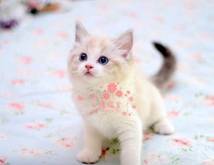 长沙哪里有布偶猫卖?布偶猫可以养到多大?