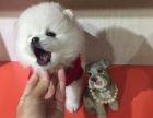 重庆出售哈多利球体博美幼犬 重庆有卖白色俊介 重庆黄色俊介