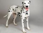 买一只斑点狗,一起撒狗粮吧!