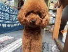 可爱萌萌的泰迪犬