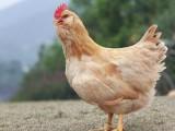 胡须鸡养殖基地一手货源批发价