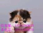 专业猫舍出售加菲猫-英短-暹罗猫-美短