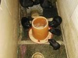 供应黑豚鼠种苗