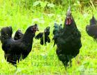 洛阳绿壳蛋鸡苗养殖