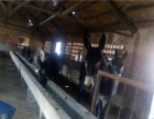 颖兴牧业肉牛犊,肉驴出售