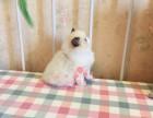 西安哪里有卖布偶猫的较便宜多少钱一只