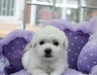 卷毛比熊幼犬比熊犬价格 比熊犬多少钱 比熊犬图片 比熊犬领养