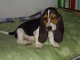佛山哪有巴吉度猎犬卖 佛山巴吉度猎犬价格 巴吉度猎犬多少钱