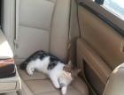 自家养的双CFA血统证书加菲猫宝宝低价出售