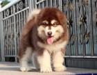 出售纯种阿拉斯加犬,体态完美,健康强壮,骨骼量足