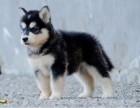 信誉服务 高端品质保障 纯种阿拉斯加犬 常年有货