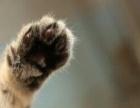 金虎斑,银虎斑,长毛棕虎斑幼猫妹妹
