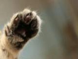 金虎斑,銀虎斑,長毛棕虎斑幼貓妹妹