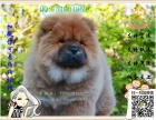 买纯种松狮犬 保纯保健康-可签订质保协议