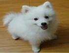 超萌银狐犬 价格优惠 品质保障 包健康品质保证