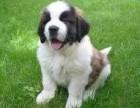 繁殖纯血统圣伯纳幼犬聪明忠诚健康签订合同售后质保