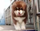 德州 出售2到4个月阿拉斯加雪橇犬 包健康纯种!