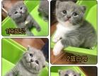 超优惠价英短纯蓝与蓝白猫
