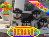 纯种阿拉斯加幼犬 专业繁殖 包纯种签合同保健康