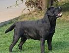 大连拉布拉多便宜出售 大连拉布拉多专业犬舍 拉布拉多价格