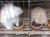 出售自家养的宠物兔元宝鸽