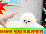 实物拍摄—精品博美犬 保纯种健康—— 签终身协议