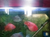 处理大粗线和两个元宝鹦鹉鱼