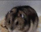 常年出售小仓鼠