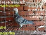 出售几个鸽子