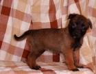纯种马犬幼犬出售 比利时牧羊犬马犬幼犬出售 警犬