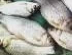 鱼苗批发 垂钓成品鱼 养殖鱼苗