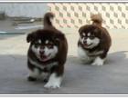 自家养的双血统阿拉斯加一窝小狗待售 欢迎上门挑选