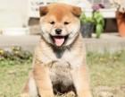 深圳一般哪里有卖柴犬 深圳柴犬多少钱 深圳柴犬价格