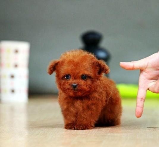哪里有泰迪幼犬出售 茶杯泰迪成年多大 泰迪多多少钱图片