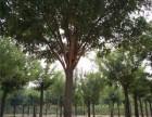 临沂80公分国槐树批发厂家在哪