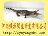 供应鳄鱼的起源