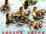斑嘴鸭苗供应价格-舜临山斑嘴野鸭养殖基地