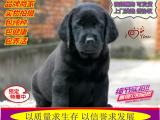 实物拍摄拉布拉多幼犬2-6个月均有,健康纯种协议质