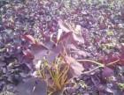 芜湖时令花卉万寿菊一串红四季草花矮牵牛长春花孔雀草