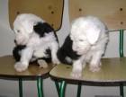 郑州本地犬舍出售纯种 古牧幼犬 同城可送货 保存活