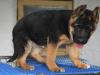出售纯种德国牧羊犬狗