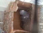 出售明鸽也有便宜鸽大鸽子50一只小鸽子25一只