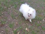 里有出售超萌日系俊介犬--球体博美犬钱一只
