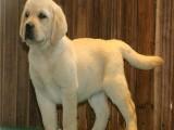 杭州寵物狗 品相出眾 純種哈士奇出售 簽純種健康協議