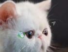 加菲猫宝宝 找新家,无病无藓 保证健康