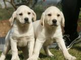 佛山出售 纯种拉布拉多幼犬 疫苗齐全出售中 可签协议健康保障