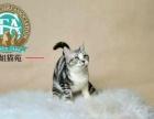 【芳姐芳苑】纯种加菲猫【出售】【种公借配】【回购】